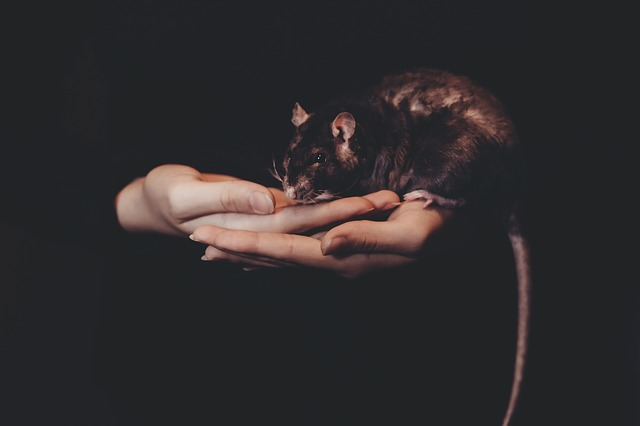 Vice caché avec apparition de rats dans la maison